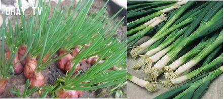 ảnh trồng rau sạch tại nhà,trồng rau,trồng rau tại nhà