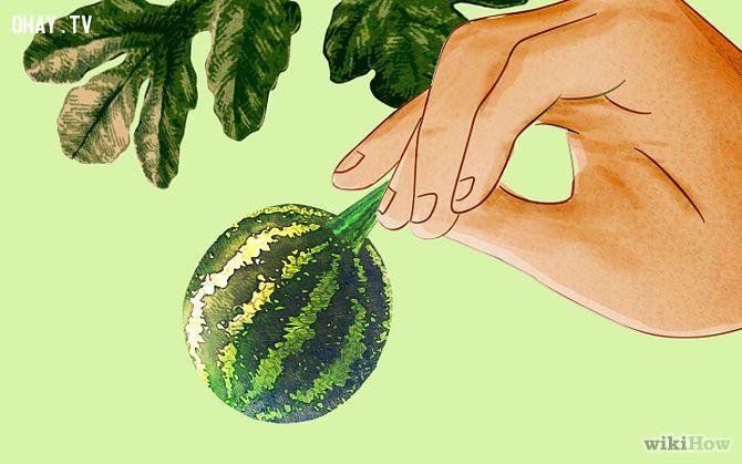 ảnh cách trồng dưa vuông,dưa vuông,tạo hình dưa vuông,cách trồng dưa,mẹo nhà nông