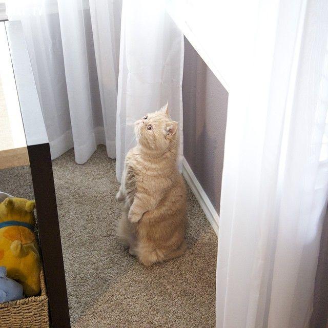 ảnh mèo George,George2Legs,mèo thích đứng 2 chân,vật nuôi