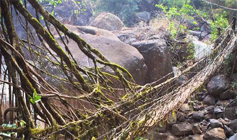 Những cây cầu độc đáo được làm bằng rễ cây