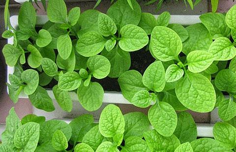 5 loại rau có thể dễ dàng trồng tại nhà