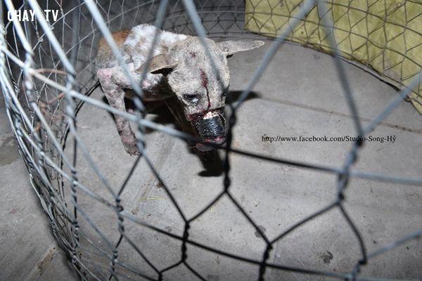 giải cứu chú chó bị dán mõm đến hoại tử