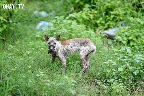 chú chó bị dán mõm đến hoại tử trước khi được cứu