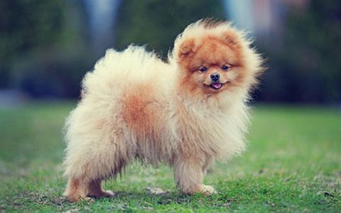 10 giống chó nhỏ nhất thế giới