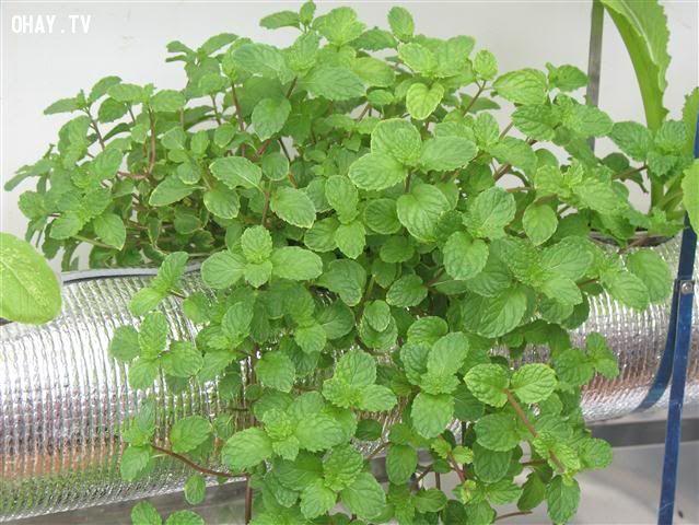 ảnh trồng húng lũi tại nhà,trồng rau húng tại nhà,trồng rau sạch tại nhà,trồng rau