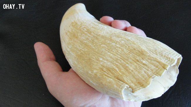 Phong tục cưới Fiji răng cá voi