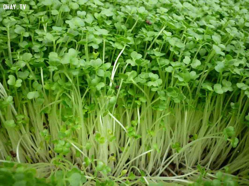 ảnh rau mầm,trồng rau sạch tại nhà,cách trồng rau,trồng rau mầm