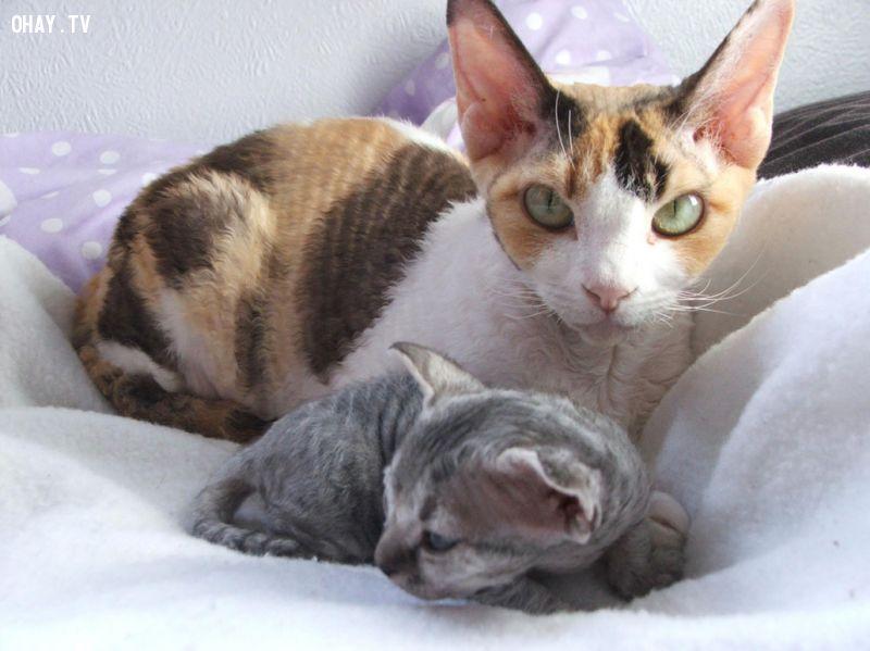 ảnh mèo kỳ lạ,mèo xấu lạ,mèo xấu nhất,các loại mèo,loại mèo xấu nhất,mèo sphynx,mèo minskin,mèo devon rex,mèo cornish rex