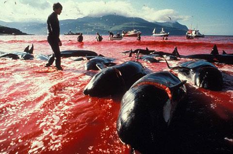 Rùng rợn cảnh cá heo bị thảm sát trên đảo Faroe