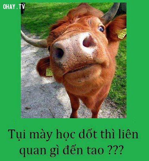 ngu như bò