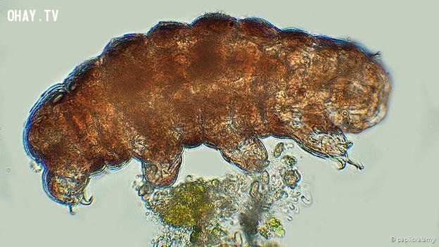 Tardigrades spend most of their lives on moss and lichen