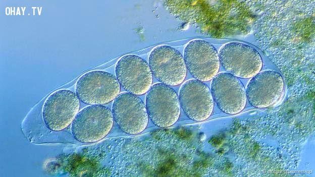 Hypsibius dujardini with eggs