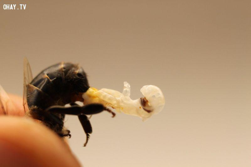 ảnh loài ong,ong mật,có thể bạn chưa biết