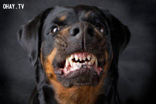 ảnh Chó nguy hiểm,chó dữ,pitbull,chó chọi,các loại chó,các giống chó