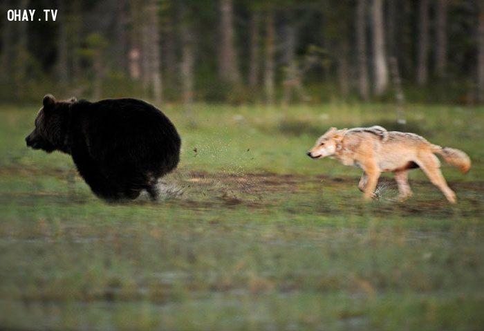 Câu chuyện về tình bạn đặc biệt giữa chó sói và gấu.