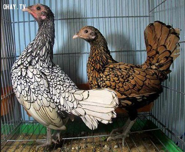 ảnh gà giá ngàn usd,gà đắt nhất tại việt nam,gà hiếm,các giống gà
