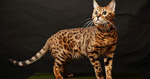 4 giống mèo đắt nhất hành tinh
