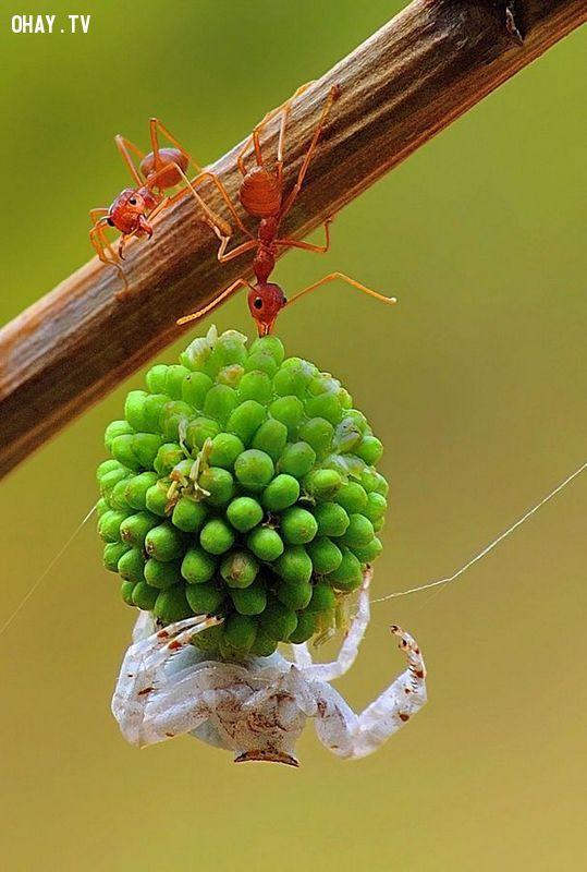 ảnh Đàn kiến,tha trái cây,chuyển trái keo,sức mạnh đoàn kết,kiến tha mồi,đoàn kết,loài kiến