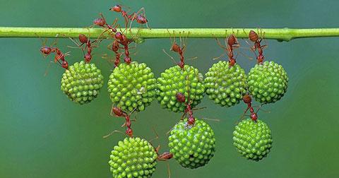 Bộ ảnh thú vị chứng minh sức mạnh đoàn kết của đàn kiến