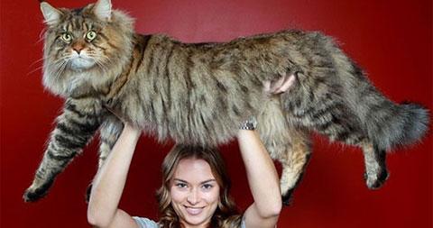 5 giống mèo nuôi lớn nhất thế giới
