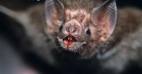 Bí ẩn về loài dơi quỷ hút máu Vampire