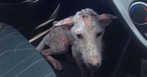 Bạn có sẵn sàng cứu một chú chó hoang vừa xấu vừa bệnh?