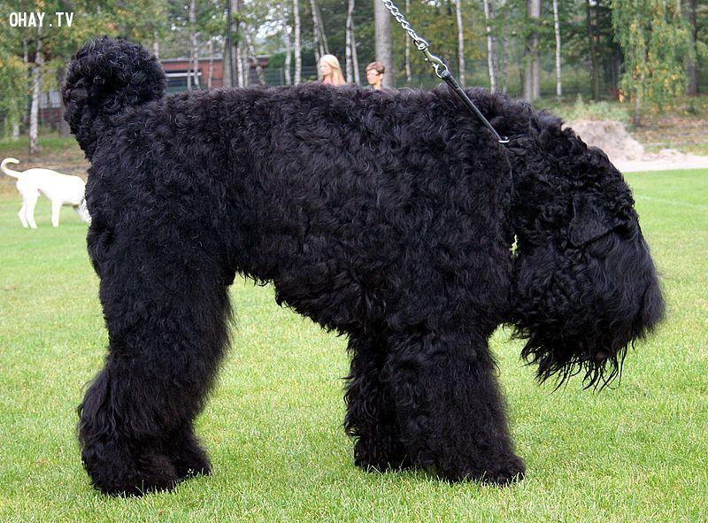ảnh chó to nhất,giống chó lớn,chó ngao,loài chó,các loại chó