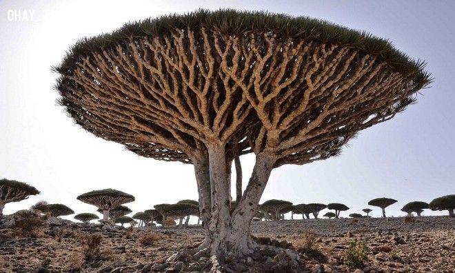 ảnh cây cổ thụ,cây lâu năm,cây hình dáng lạ
