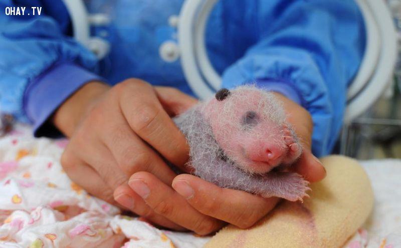 1.Một chú gấu trúc sơ sinh được đặt vào lồng ấp tại trung tâm nhân giống gấu trúc ở thành phố Nhã An