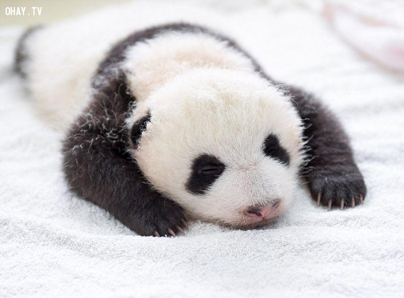 Gấu trúc sơ sinh khoảng 60 ngày tuổi nhìn đúng là siêu cute