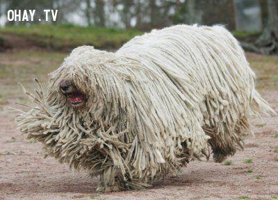 ảnh Chó xấu nhất,giống chó xấu,xấu xí,các giống chó,các loại chó