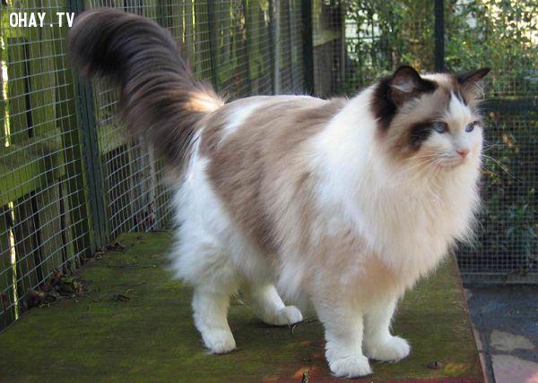 ảnh mèo lớn,giống mèo,loài mèo,lớn nhất,vật nuôi
