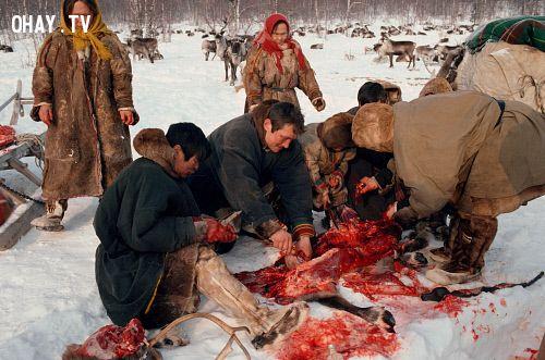 Các thành viên đang xẻ thịt tuần lộc trên tuyết