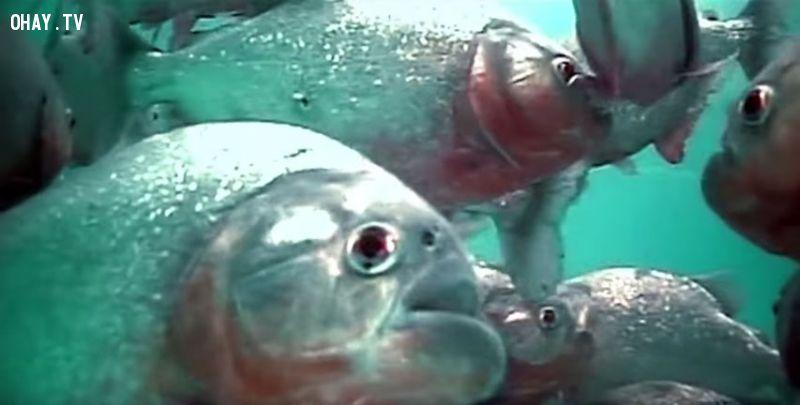 ảnh cá ăn thịt người,Cá Piranhas