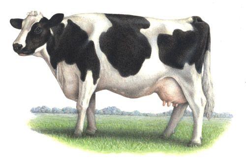 Nhìn thấu nền kinh tế-xã hội thế giới qua phép định nghĩa với hai con bò