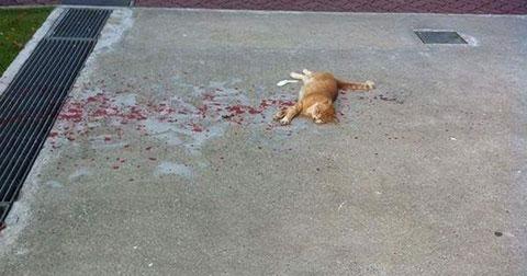 Vội vã chạy lại để cứu chú mèo nằm trên vũng máu, và kết quả...