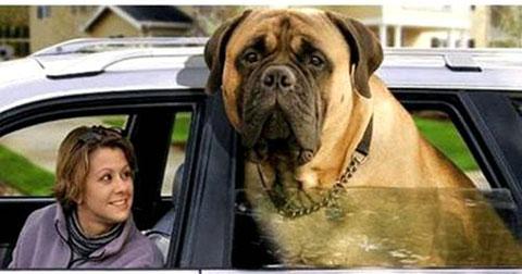 10 giống chó lớn nhất thế giới