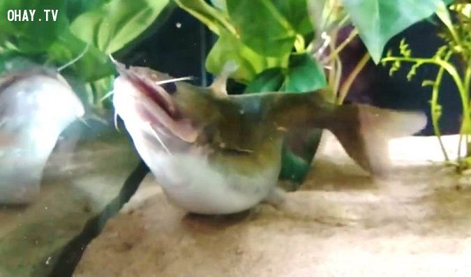 ảnh cá lớn nuốt cá bé,cá kiếng,cá nuốt mồi