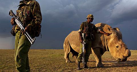 Lăm lăm súng ống bảo vệ con tê giác trắng đực cuối cùng