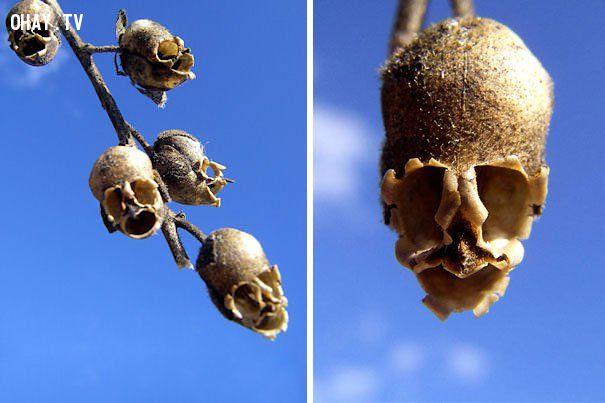ảnh hoa bắt chước,lan mặt khỉ,lan bồ câu,lan thiên thần,các loại lan,các loại hoa lan