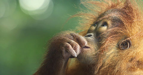 15 sự thật thú vị về Đười ươi có thể bạn chưa biết