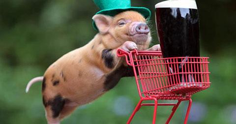Lợn uống bia say xỉn, xông vào đánh nhau với bò