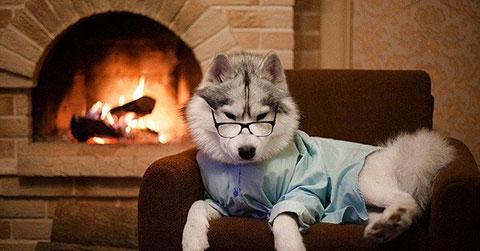 Siberian Husky - Giống chó có vẻ đẹp mê hoặc mọi ánh nhìn