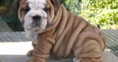 10 giống chó tốt nhất để bạn nuôi trong nhà