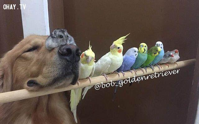 ảnh chú chó bob,Golden retriever