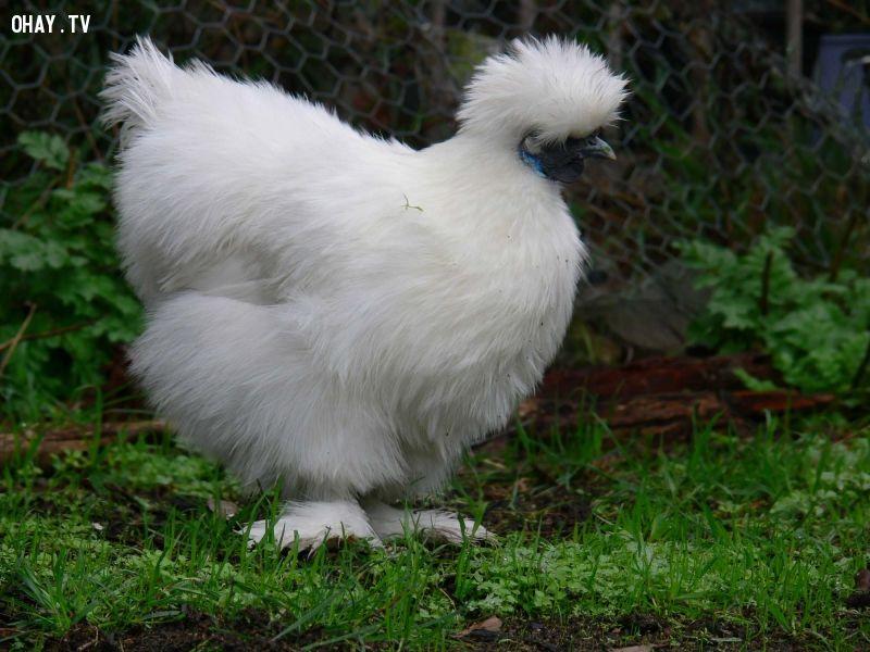ảnh các giống gà,các loại gà