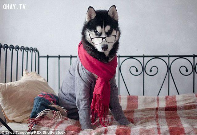 ảnh chó đẹp,chó đáng yêu,chó tuyệt vời,tại sao nên nuôi chó,chó sang chảnh,chó thuần chủng,Siberian Husky
