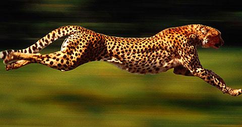 Top 10 loài động vật nhanh nhất thế giới