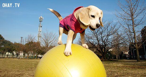 Cô chó Purin trổ tài giữ thăng bằng trên bóng hơi