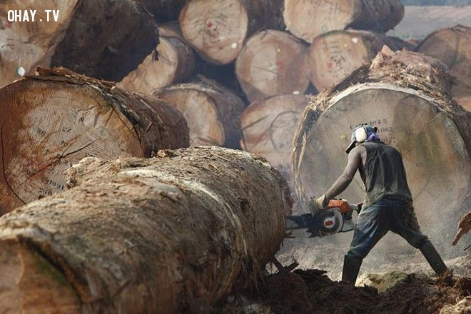 Ngành khai thác gỗ